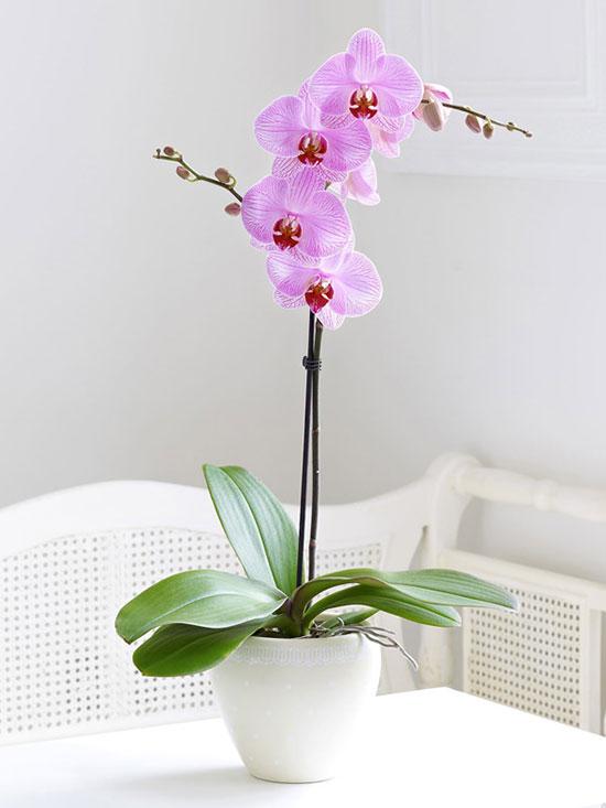 Orquidea Sencilla Una Vara Orquideas Presentan hojas estrechas y alargadas con flores caracterizadas por su atractivo visual, debido al. orquidea sencilla una vara